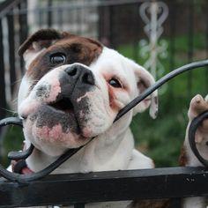 Bulldog pic of the day #Padgram