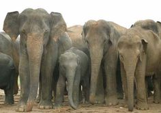 Asian Elephant   Endangered Animals Facts, Wildlife Pictures And ...