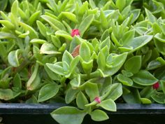 Drought Tolerant Ground Cover Full Sun | ... succulent ground cover that smothers weeds the red summer long