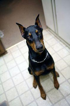 Dobies make awesome family pets.  http://www.animaroo.com #DobermanPinscher