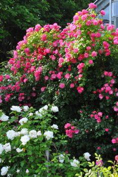 [Roses] Angela