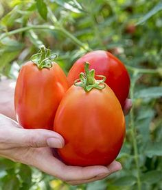 Grow robust tomato plants with Burpee's high yield tomato seeds today. Shop quality beefsteak, cherry, slicing, paste, and heirloom tomato seeds for sale. Find over 100 types of tomato seeds & plants for sale at Burpee. Growing Tomatoes From Seed, Types Of Tomatoes, Growing Tomatoes In Containers, Plum Tomatoes, Grow Tomatoes, Heirloom Tomato Seeds, Heirloom Tomatoes, Determinate Tomatoes, Tomato Farming