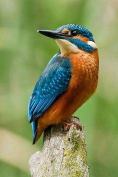 Common Kingfisher, Kingfisher Bird, Kingfisher Tattoo, Nicobar Pigeon, Common Birds, Mosaic Birds, Most Beautiful Birds, All Birds, Love Birds