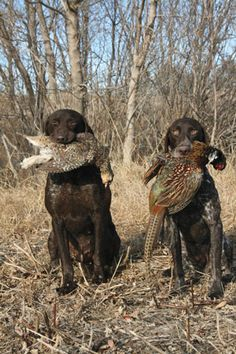 German Shorthaired Pointer Gun Dog Magazine took an in depth look at one of the most versatile breeds of hunting dogs, the German Shorthaired Pointer. Gsp Puppies, Pointer Puppies, Pointer Dog, German Shorthaired Pointer Black, Puppy Classes, Hunting Dogs, Hunting Birds, Grouse Hunting, Pheasant Hunting