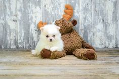 Pomeranian Puppies for Sale Online Pomeranian Facts, Pomeranian Breed, Pomeranian Puppy For Sale, Teacup Pomeranian, Puppies For Sale, Pom Dog, Getting A Puppy, Easter Bunny Decorations, Puppy Food