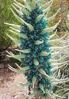 Divagar sobre tudo um pouco: Puya - Uma planta surpreendente e exótica