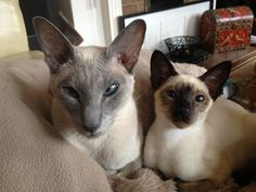Blue-point Siamese & Seal-point kitten looks like tip ;)