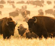 Buffalos- south dakota- Jen remembers her dad saying where are the Buffalos, all I see is a fuzzy rock!!