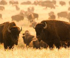 Buffalos- south dakota