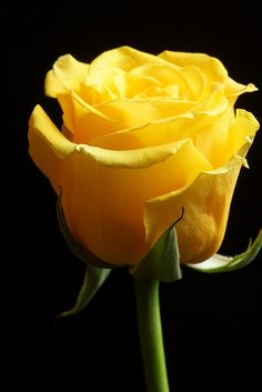Flowers - Yellow Rose