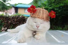 Meet a Shiro Neko. He was born March 8, 2002, and possibly the most laid back cat in the world.