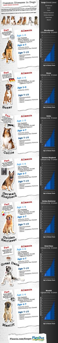 Common Diseases In Dogs   Large Breed Edition #infographic