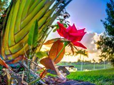 """Florida Morning Rose"" by Mark ""Machine"" Graham on 500px"