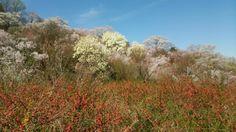 61:「4月5日に花見山散策しました。ほとんどの花がほぼ満開で、天気も良く最高でした。花も色とりどりで綺麗でした。」@福島県福島市花見山公園