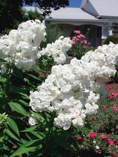 White fragrant flowers. 2002 Plant of the Year