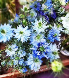 Flowers: Nigella
