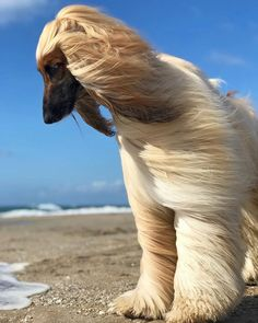 Albino Dog, Pet Dogs, Pets, Afghan Hound, Tier Fotos, Dogs Of The World, Dog Photography, Beautiful Dogs, Dog Grooming