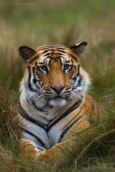 Tiger-Portrait