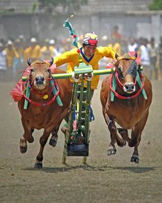 """""""Karapan Sapi"""" or bull race is originated in Madura. After a method of using a pair of bulls for agriculture to increase soil fertility, a chariot-like tournament and its festival were held eversince. Lombok, People Of The World, World Cultures, Borneo, Archipelago, Tahiti, Southeast Asia, Laos, Camel"""