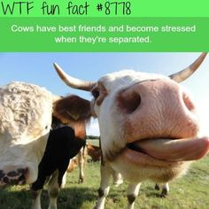 WTF Facts : funny, interesting & weird facts — Cows have best friends - WTF fun facts Wow Facts, Wtf Fun Facts, Funny Facts, Funny Memes, Random Facts, Crazy Facts, Random Stuff, Animals And Pets, Funny Animals
