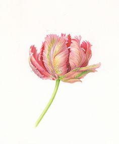 Parrot tulip- Karen Kluglein