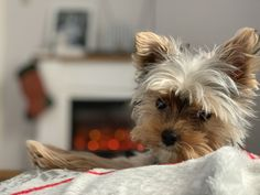 Still cold outside and all I want to do is stay in bed! Stay In Bed, All I Want, Yorkshire Terrier, Good Morning, The Outsiders, Cold, Winter, Animals, Yorkshire Terriers