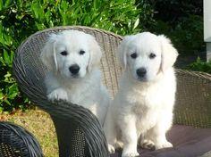 Está pensando em adotar um Golden Retriever? Então, antes de mais, convém se informar sobre tudo desta raça. #goldenretriever #raças #cachorros #cães #animais