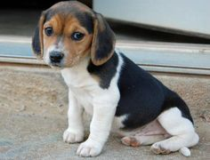 Our first family dog...beagles are awesome