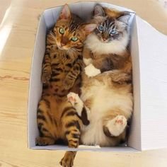 Cardboard Box Living Is Proud To Introduce The Top 16 Cats Who Are Living Up To Their Full Potential - World's largest collection of cat memes and other animals Pretty Cats, Beautiful Cats, Animals Beautiful, I Love Cats, Crazy Cats, Cute Funny Animals, Cute Cats, Funny Cats, Animals And Pets