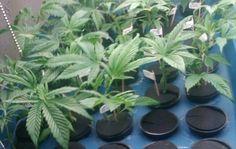 cloning machine cannabis