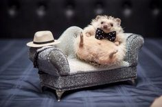 Classy Hedgie More