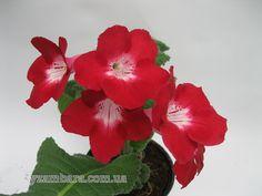 DS-Аленький Цветочек