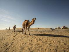 Cinco cosas que no sabías de los camellos