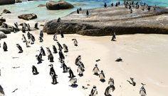 boulders beach penguins, african penguins, swimming with penguins, simon's town, boulders bay, south african penguins, boulders beach entrance fee, boulders penguin colony,afrika penguenleri, Masa Dağı Milli Parkı, boulders plajinin penguen kolonisi, guney afrika'da yapilmasi gerekenler, cape town'da yapilmasi gerekenler, penguenlerle yuzmek