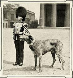 IRISH GUARDS MASCOT THE WOLFHOUND BRIAN BORU OLD ANTIQUE 1912 DOG PRINT