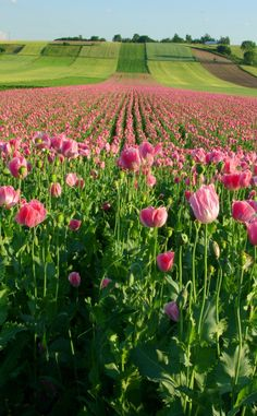 Pink Poppies, Raclawice, Lesser Poland, Poland