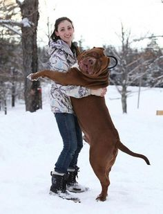Hulk! The world's biggest Pitbull you will ever see! Amazing!