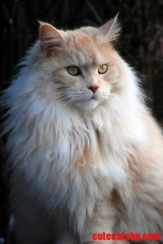 Adult Maine coon cat - http://cutecatshq.com/cats/adult-maine-coon-cat-2/