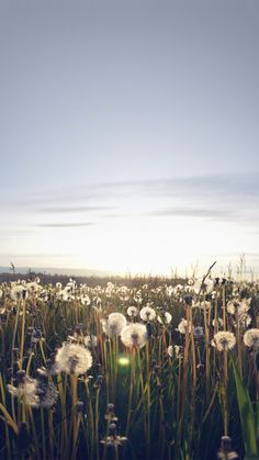 Nature Love Flower Dandelion iPhone 6 wallpaper