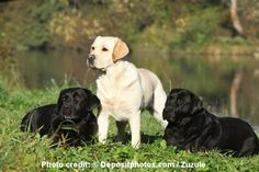Dog training methods: A yellow lab and 2 blacks in grass by water dog training Check out the information here ; http://www.wickedsavingsdaily.com/petiner-advanced-no-bark-dog-training-electric-shock-control-collar/