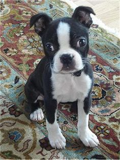 Boston Terrier Puppies - Click image to find more Pets Pinterest pins