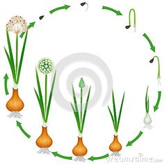 Life cycle of a onion plant on a white background, beautiful illustration. Montessori, Planting Onions, Pete The Cats, Indoor Flowering Plants, Sequencing Activities, Home Vegetable Garden, Author Studies, Art Lessons Elementary, Life Cycles