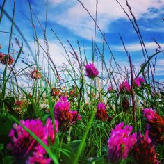 Bright pink flowers in a Sussex field.. #pink #pinkflowers #colour #grass #nature #southeast #agriculture #bikeride #contrast #summer #sky #southdowns #nationaltrust #landscape #landmark #amazingsky #bright