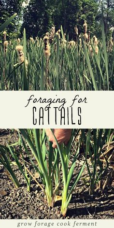 Foraging for Cattails Cattails are useful in so many different ways! Learn how to go foraging for cattails and all the ways to use them. The perfect survival food! Survival Food, Outdoor Survival, Survival Prepping, Survival Skills, Survival Supplies, Emergency Preparedness, Survival Hacks, Survival Weapons, Survival Stuff