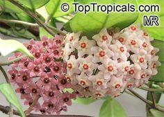 Hoya plants | Hoya carnosa, Wax Plant - TopTropicals.com