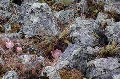 Orejas de burro, helechos y líquenes creciendo sobre roca volcánica suelta