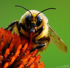 It's Pollinator Week! Learn more about the native bees and how to help them. Especie Animal, Mundo Animal, Buzzy Bee, I Love Bees, Cool Bugs, Bees And Wasps, Beautiful Bugs, Bugs And Insects, Bee Happy