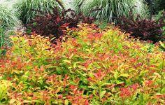 Spiraea japonica'Goldflame' - Google-keresés