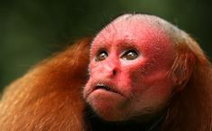 Zoo Animals: Bald Uakari