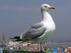 picture of seagull - Google Search